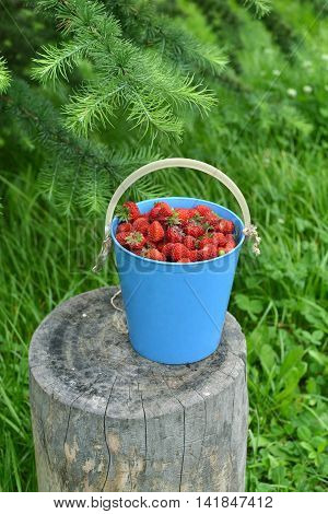 Strawberry in a blue bucket under larch tree, vertical summer background