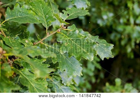 Oak leaves over green. Extremely shallow dof.