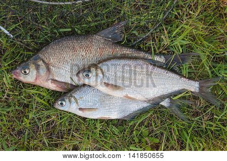 Several Common Bream Fish And Silver Bream Or White Bream Fish On Green Grass. Catching Freshwater F