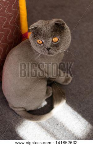 Scottish Fold Cat Bobbed