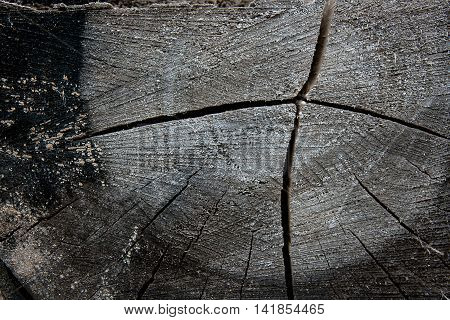 Wood Texture Of Cutted Tree Trunk. Moss And Fungus Growing On The Old Tree.
