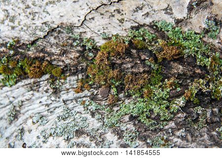 Bark With Moss And Fungus As Background Texture