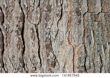 Bark texture of pine or Neapolitan Mediterranean pine