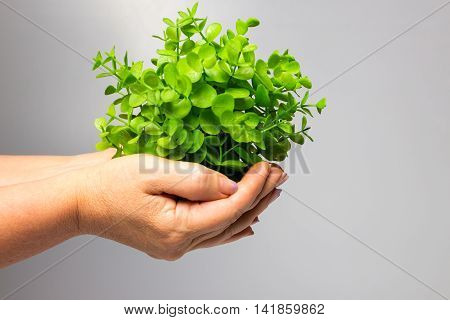 The old female hands holding new green sprouts on gray background