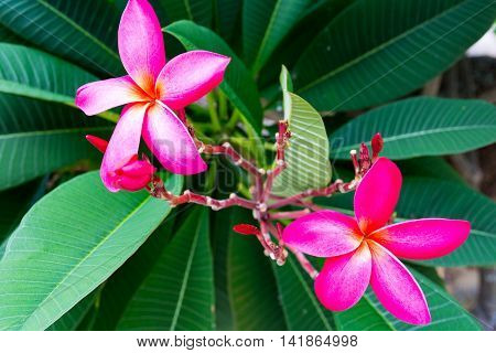 Beautiful Tropical Flowers In Thailand