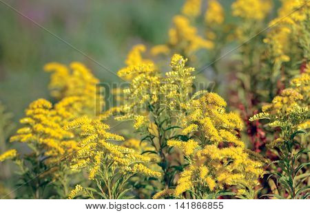 Closeup of yellow blooming Goldenrod or Solidago plants in a Dutch nature reserve. In naturopathy the plant is considered medicinal.