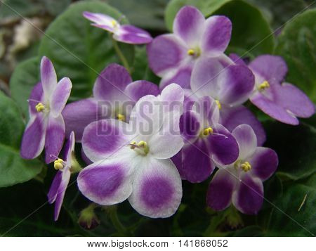 Collectible Saintpaulia (African violet) Valeska Viol with fingertip coat color