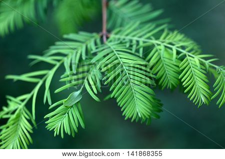 Leaves of a dawn redwood (Metasequoia glyptostroboides)