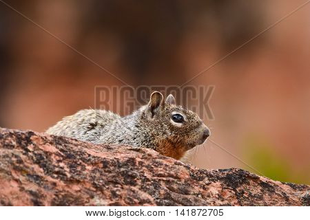 Ground squirrel in the wilds in Colorado, USA