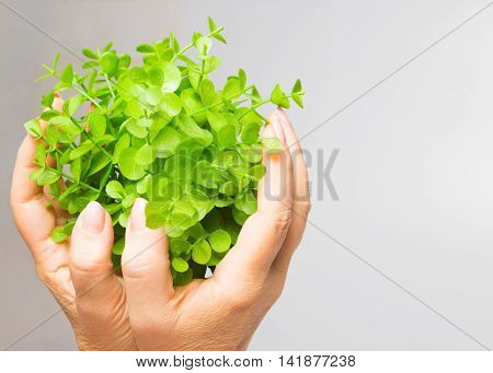 The old female hands holding new green sprout on gray background