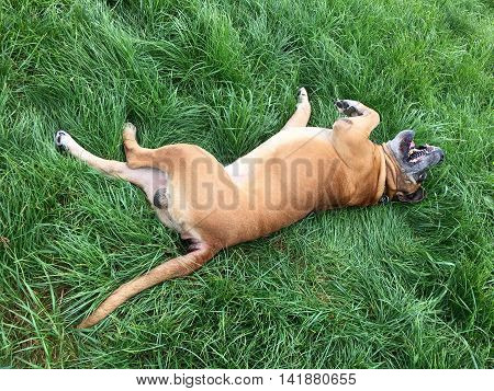 Lucky Boerboel, south african mastiff on a meadow