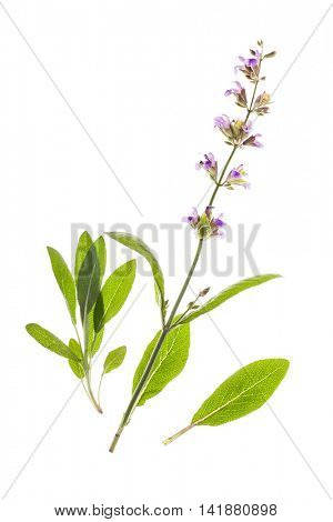 Flowering sage isolated