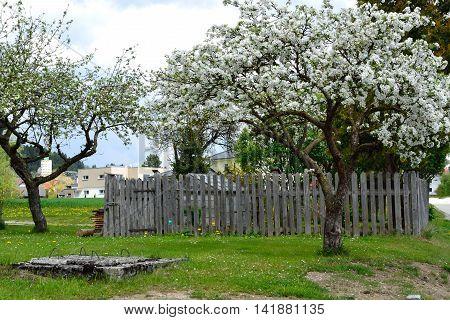 old apple tree in bloom - spring season