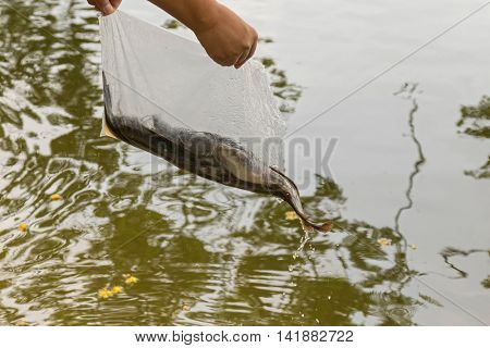 Bag of alive catfish being released into the water. Free fish or give freedom to lives, animal, one of Buddhist Practices