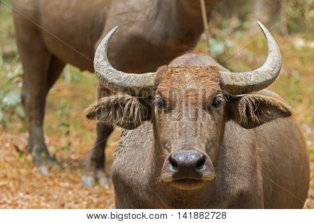 Closeup headshot of brown domestic Asian Water Buffalo standing in the afternoon sun in Thailand.  (Bubalus bubalis)