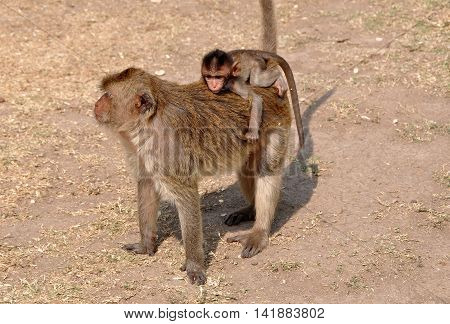 Baby monkey riding on its mother's back at Wat Phra Prang Sam Yot