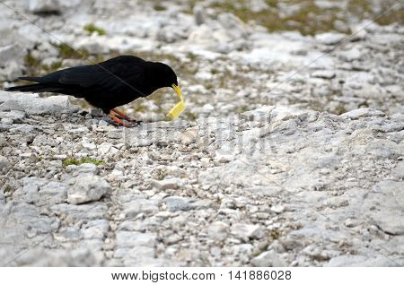Black crow eating the chips in the mountain