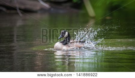 Adolecent Canada Goose splashes and bathes with enthusiasm in the waters of his home on the Ottawa River.