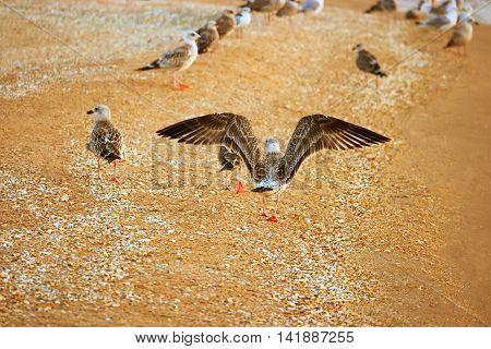 Sea gull wing-spread on sandy beach rear view.