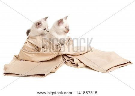 Portrait of two British Shorthair Kittens sitting in men's jeans, 8 weeks old, color point color.
