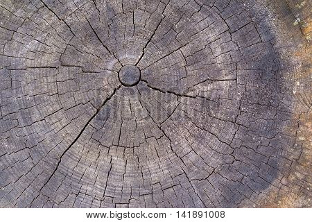 wooden transverse texture with cracks on the old stump closeup for a natural abstract background