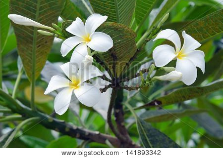 Plumeria Flowers On Tree (other Names Are Frangipani, Apocynaceae, Nerium Oleander, White Plumeria,