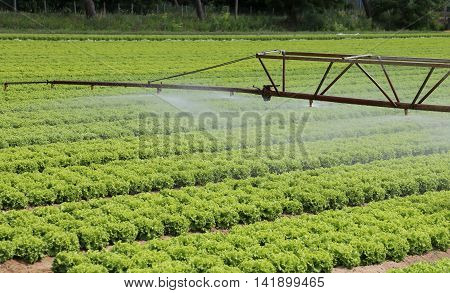 Automatic Sprinklering System Of A Lettuce Field In Summer