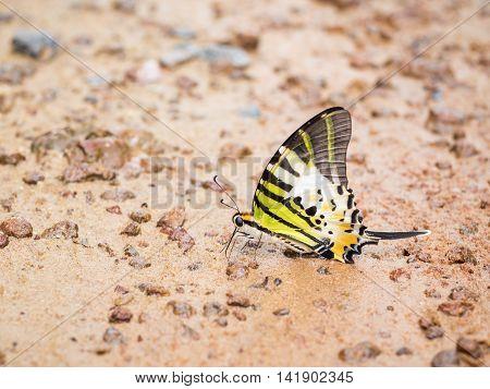 Closeup colorful butterfly on sand at Pang Sida National Park Sa Kaeo Thailand