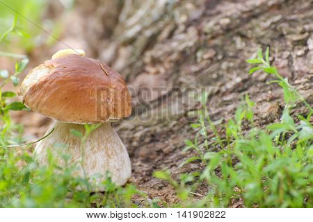 Boletus edulis Mushroom porcini on grass in forest. healthy and delicates food.