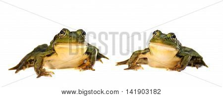 Two green frog isolated on a white background. A pair of toads.