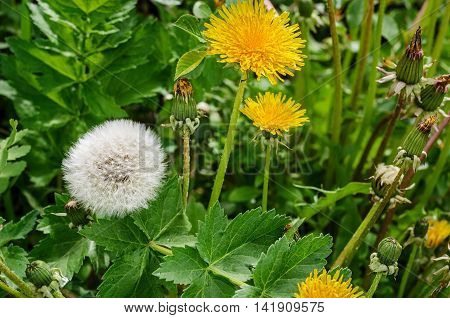 FlowerinFlowering ripened dandelion in a summer forestg dandelions in a summer forest