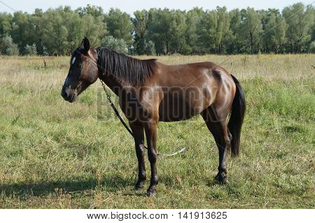 Chestnut (bay) horse with a white spot on his forehead grazing in a meadow.
