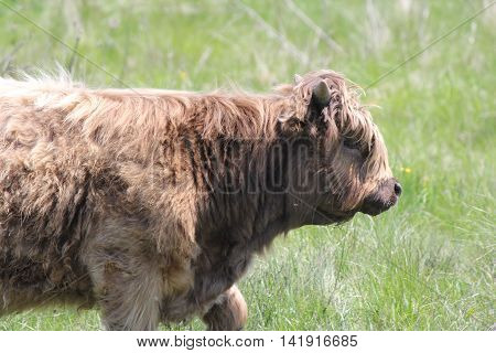 Long haired brown cow walking through a field