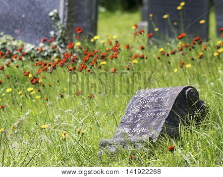 An Old Graveyard Headstone Amongst the Red and Yellow Flowers