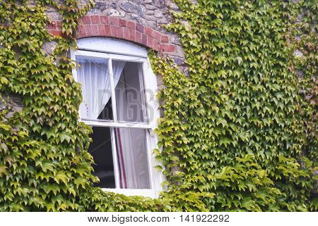 An Old White Wooden Window Surrounded by Green Ivy Leaves