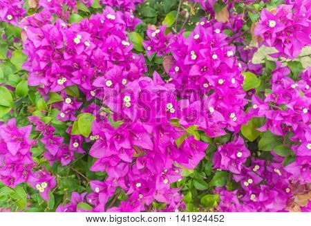 purple bougainvillea flower in colorful color in garden