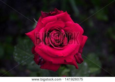 the blossomed crimson rose against a dark background