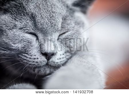 Young cute cat portrait close-up. The British Shorthair pedigreed kitten with blue gray fur