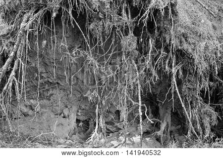 the destroyed and bound roots or rhizomes of trees closeup for an abstract and natural vegetable background of black color