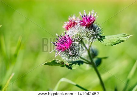 Arctium flowers in the field in the summer