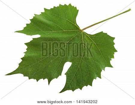 Green leaf with veins grapes isolated on white background.