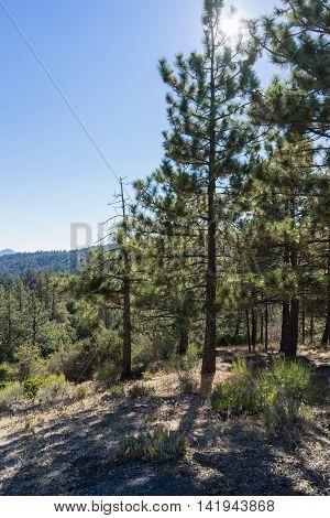 Line Of Pine Trees
