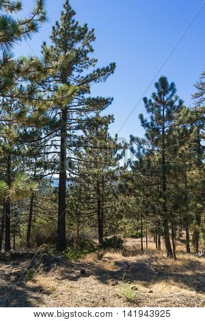 Cluster Of Pine Trees