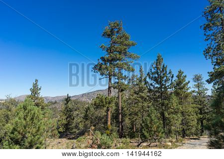 Pines Over California Valley