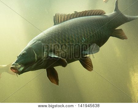 Freshwater fish carp, floating in the aquarium, Underwater World