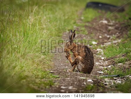 Brown Hare on path, cleaning large feet and wet from bathing in puddle (Lepus europaeus)