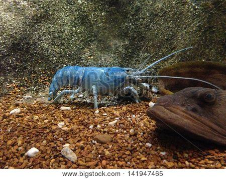Lobster in water tank at an aquarium