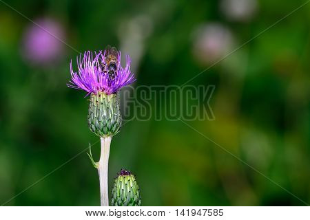 Bumblebee gathers nectar from a purple thistle flower.