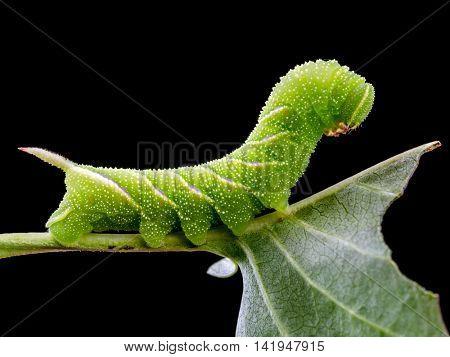 Sphinx ligustri caterpillar eating green leaf on black background