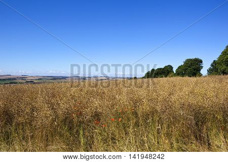 a golden canola crop and poppies with patchwork fields in summer under a clear blue sky in the yorkshire wolds